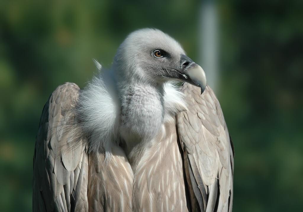 vulture-701360_1920